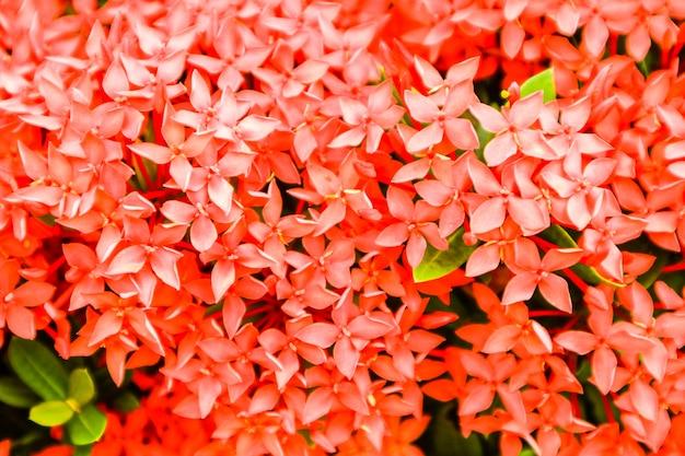 Fleur rouge ixora boutique de fleurs épi dans le jardin