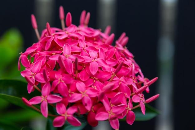 Fleur rouge ixora coccinea ม nature