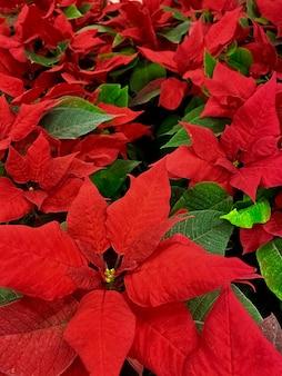 Fleur rouge de poinsettia, euphorbia pulcherrima, nocebuen. fond, texture