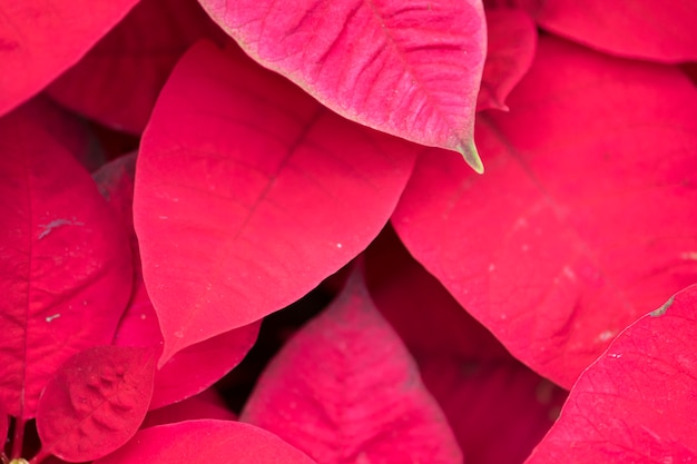 La fleur rouge de poinsettia