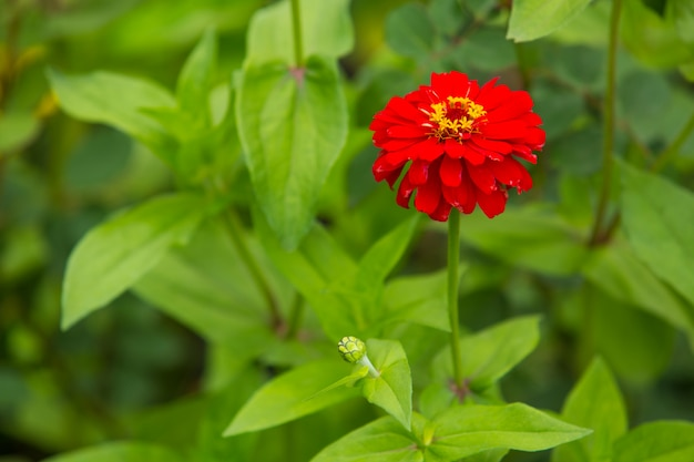 Fleur rouge saturée dans le jardin seul