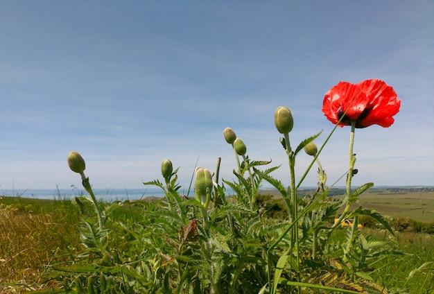 Une fleur rouge solitaire sur un champ vert dans la journée ensoleillée, le ciel est bleu.