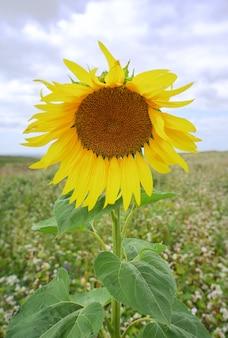 Une fleur rurale en gros plan sur un arrière-plan flou de cultures fourragères en croissance. altaï, sibérie, russie