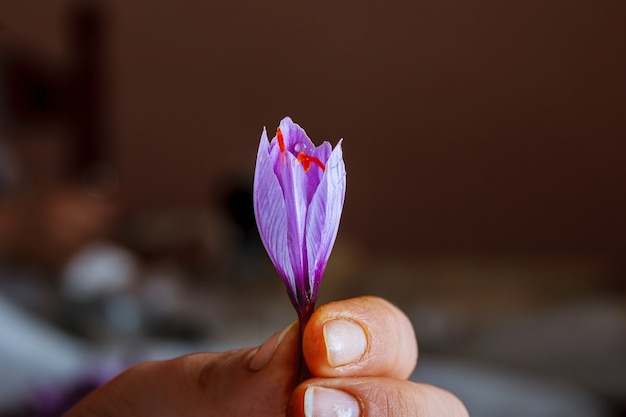 Fleur de safran fraîchement coupée dans une main de femme.