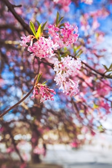 Fleur sakura au danemark