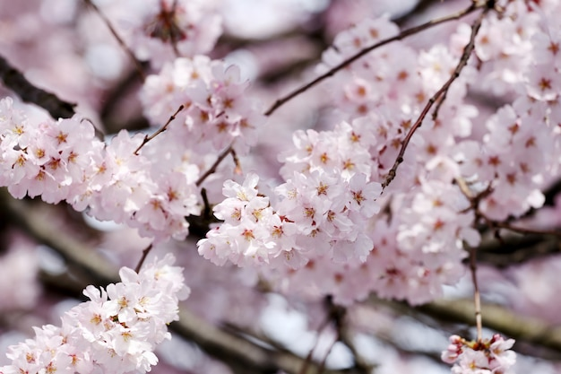 Fleur de sakura ou de fleurs de cerisier.