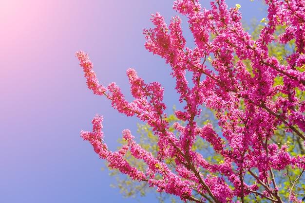 Fleur de sakura rose en thaïlande en fleurs