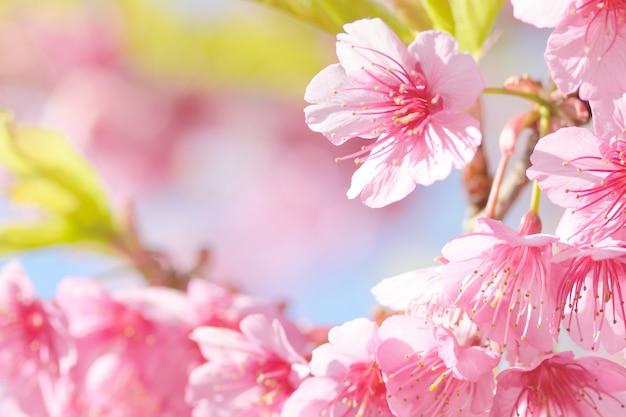 Fleur sakura