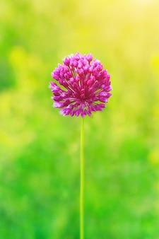 Une fleur sauvage pourpre sur fond vert, dof peu profonde