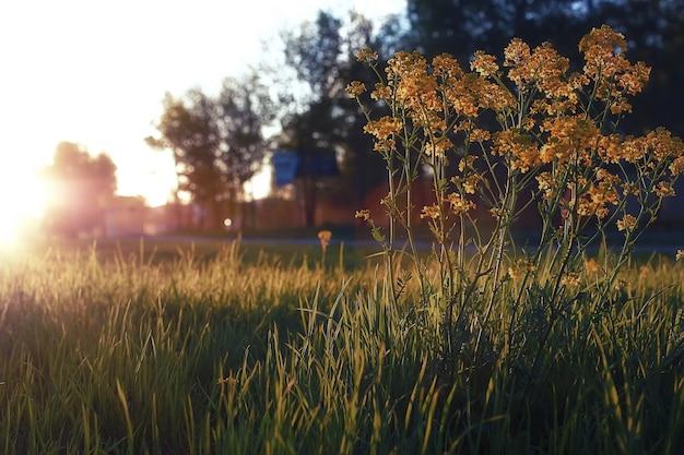 Fleur sauvage sur le pré vert à l'heure du coucher du soleil du soir de printemps