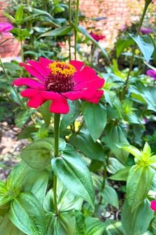 Fleur simple fleur rouge de zinnia peruviana qui pousse en amérique du nord et en amérique du sud