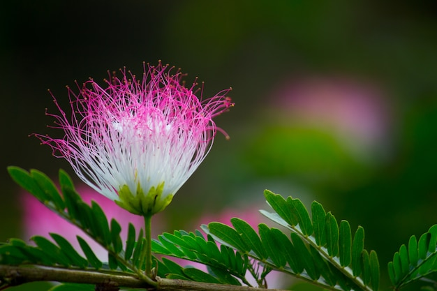 Une Fleur De Soie De Perse Dans Un Arrière-plan Flou Doux. Photo Premium