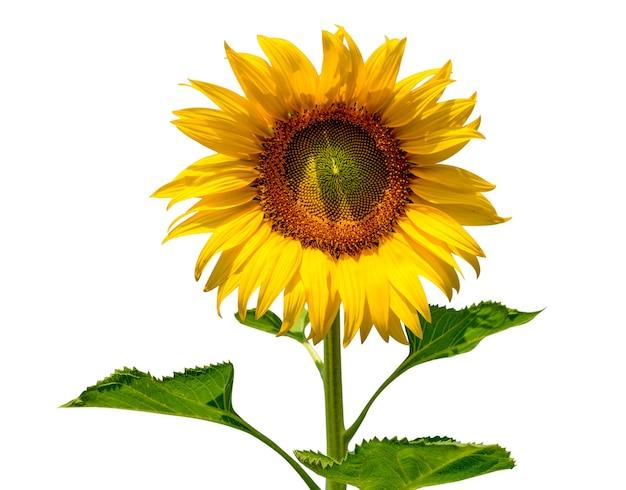 Fleur de soleil isolé sur fond blanc