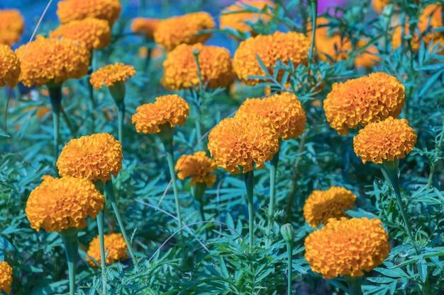 Fleur de souci dans le champ.