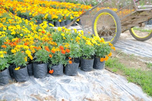 Fleur de souci français en croissance dans la ferme de la flore. la culture de la plantation de fleurs