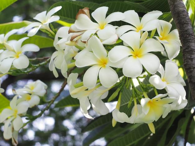 Fleur de spa tropical plumeria