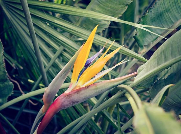 Fleur strelitzia parmi les feuilles