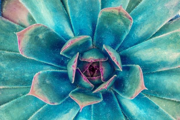 Fleur succulente avec feuilles bleues vue de dessus agrandi, photo macro