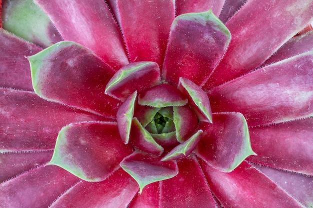 Fleur succulente à feuilles rouges