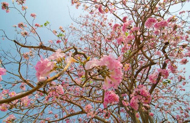 Fleur de tabebuia rose, thaïlande