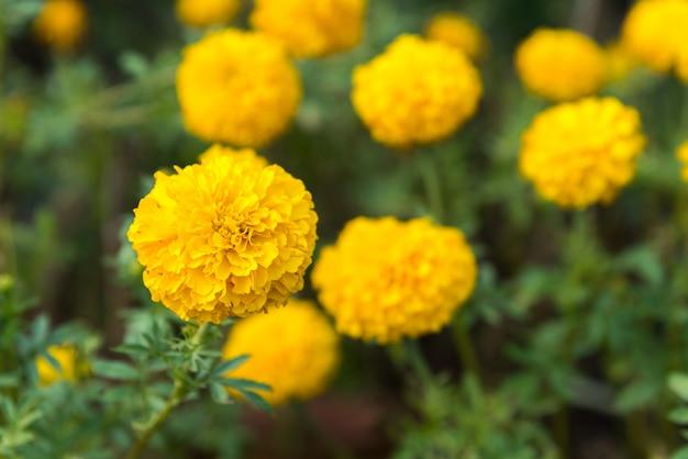 Fleur (tagetes erecta) de couleur jaune dans le jardin