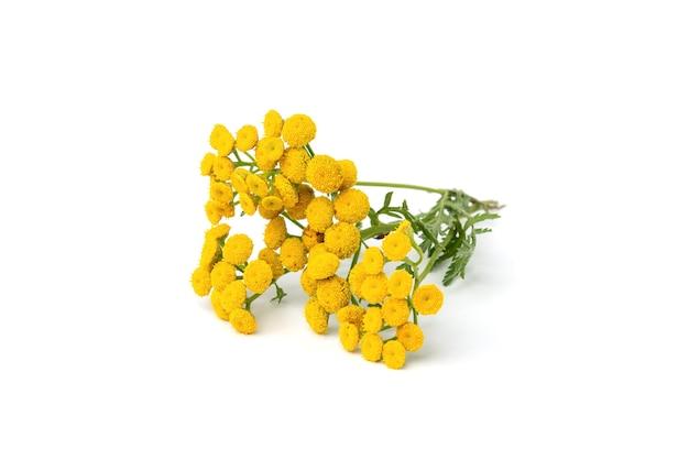 Fleur de tanaisie jaune isolé sur blanc