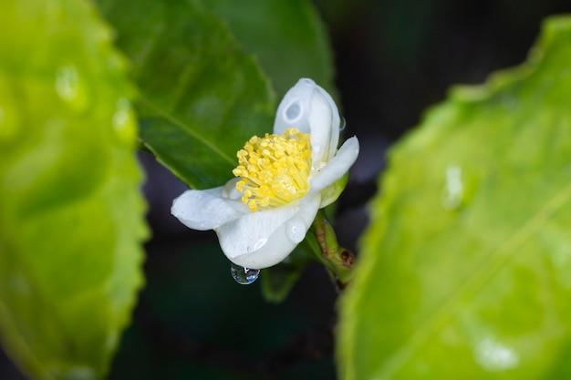 Fleur de théier camellia sinensis fleur blanche sur une branche, théier chinois en fleurs, printemps, close-up, macro, coup horizontal