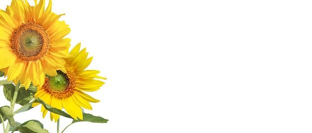 Fleur de tournesol isolé sur fond blanc.