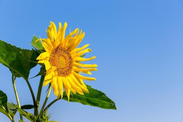 Fleur de tournesol jaune sur fond bleu