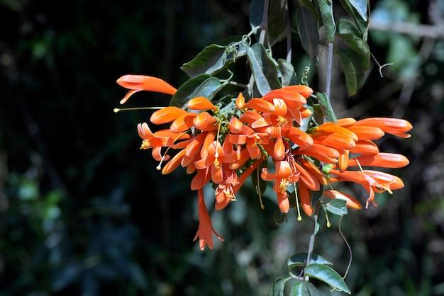 Fleur de trompette orange