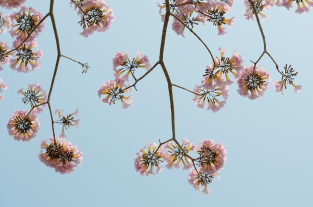 Fleur trompette rose dans le ciel bleu