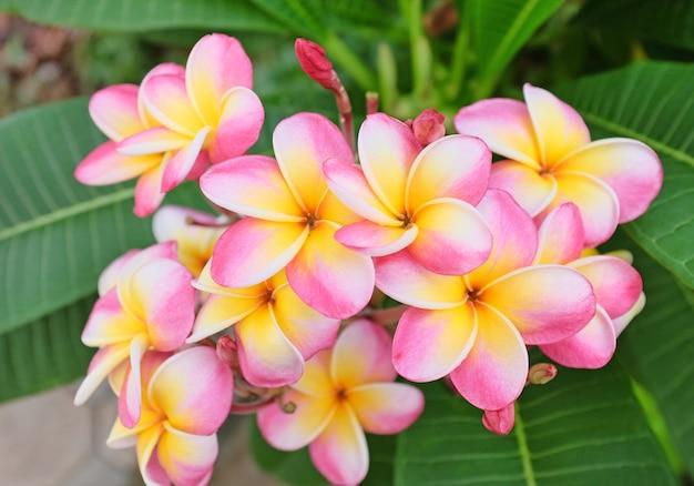 Fleur tropicale de frangipanier rose et blanc