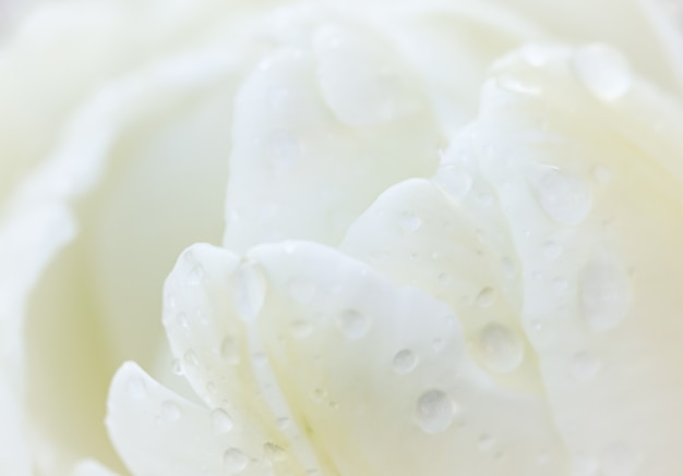 Fleur de tulipe blanche de fond floral abstrait avec des gouttes de toile de fond de fleurs de macro de pluie