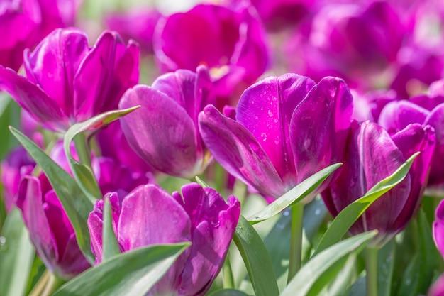 Fleur de tulipe dans un champ de tulipes au jour d'hiver ou de printemps