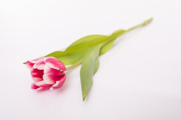 Fleur de tulipe avec des feuilles vertes isolé sur une surface blanche