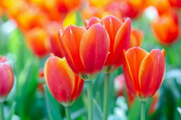 Fleur de tulipe avec fond de feuille verte au jour d'hiver ou de printemps.