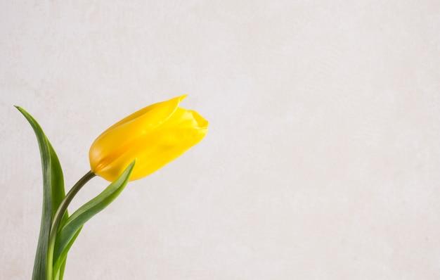 Fleur de tulipe jaune sur fond blanc