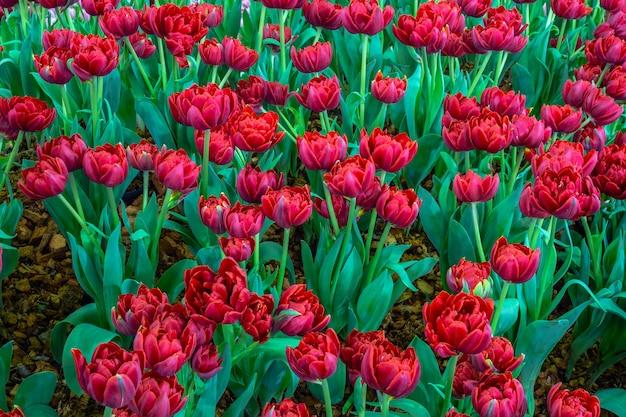 Fleur de tulipe rouge.