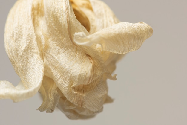 Fleur de tulipe séchée sur fond gris