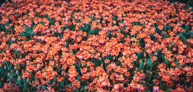 Fleur de tulipes dans le jardin, fond de nature.