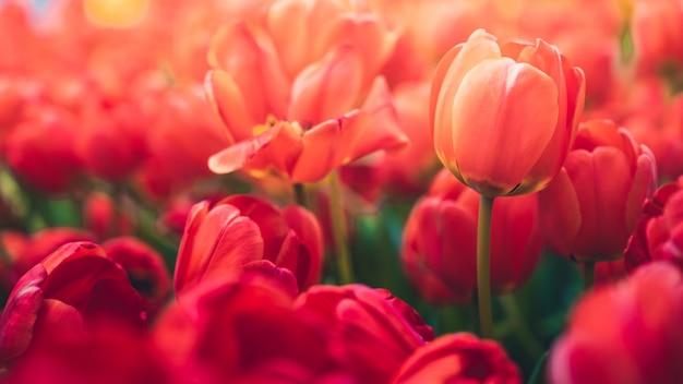 Fleur de tulipes dans le jardin