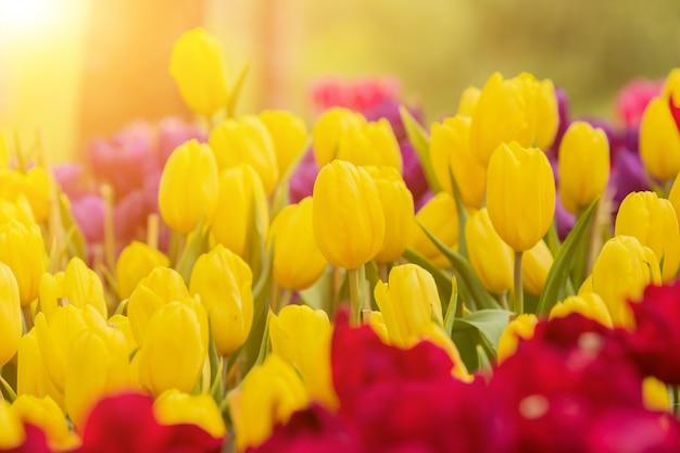 Fleur de tulipes en fleurs avec le soleil du matin