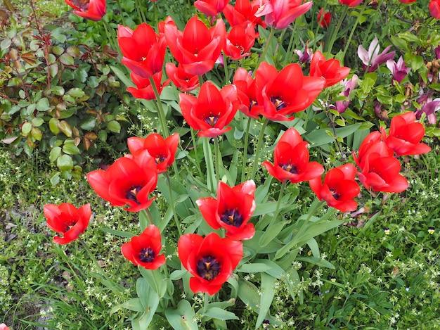 Fleur de tulipes rouges