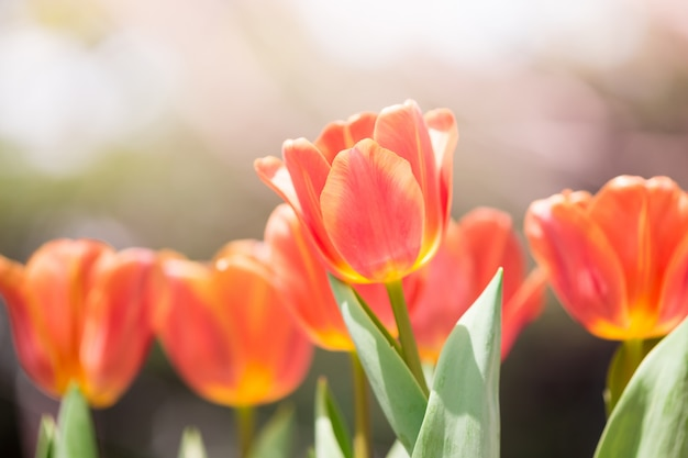 Fleur de tulipes