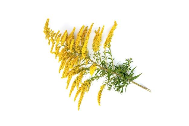 Fleur de verge d'or isolé sur blanc