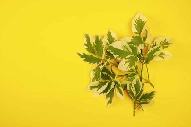 Fleur verte feuilles hémérocalle sur fond jaune