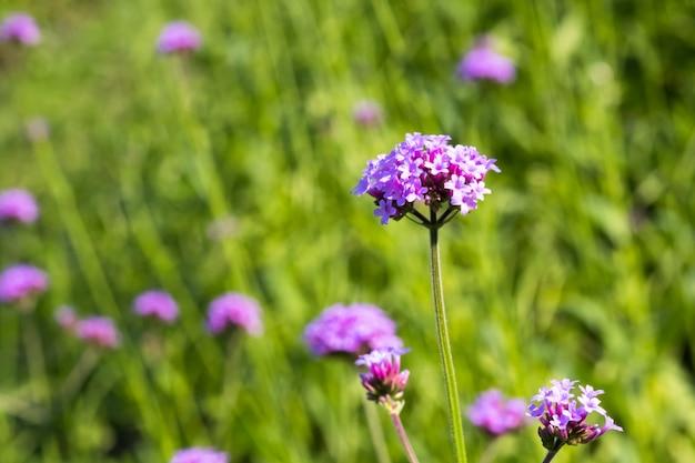 Fleur de verveine bonariensis