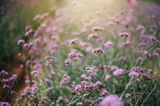 La fleur de verveine de couleur violette