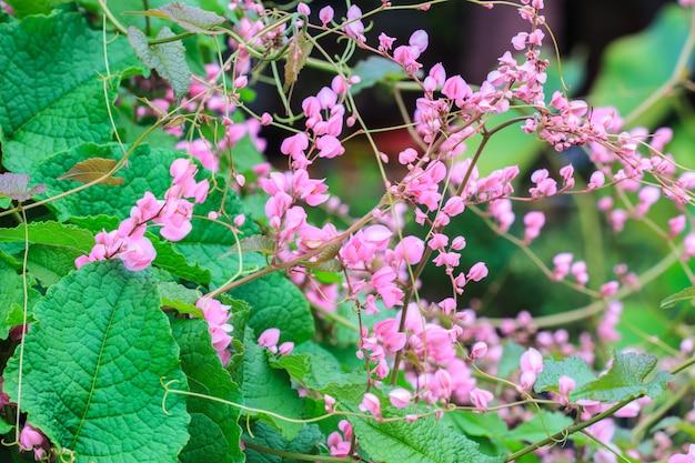 Fleur de vigne rose confédérée