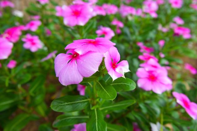 Fleur de vinca rose